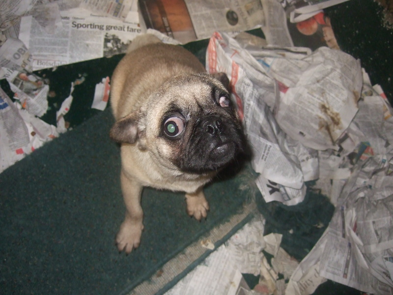 Ethical Dog Buyers Guide - avoiding puppy mills when buying a new puppy