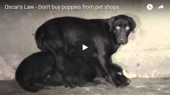 Puppy farms, puppies for sale, pet shop puppies, banksia park puppies cruelty,chevromist cruelty